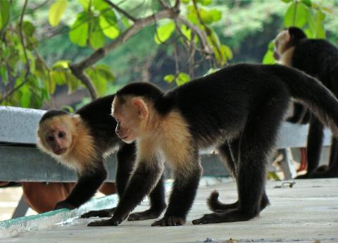 JungleRiverCruiseatPaloVerdeNationalParkMonkey