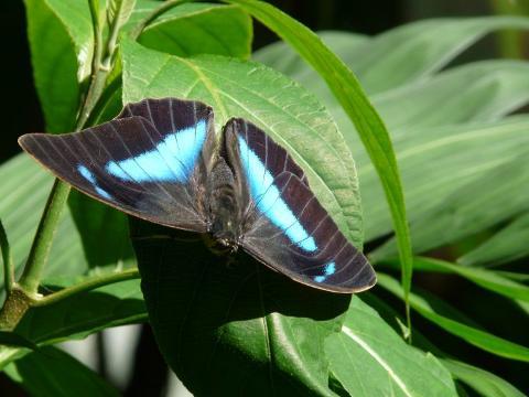 archeopropona_baterfly